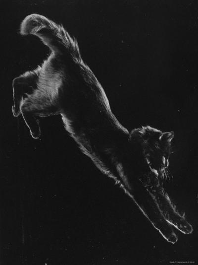 Portrait of Blackie, Gjon Mili's Cat-Gjon Mili-Photographic Print