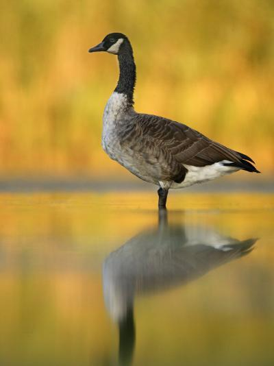 Portrait of Canada Goose Standing in Water, Queens, New York City, New York, USA-Arthur Morris-Photographic Print