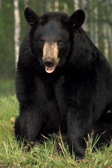 Portrait of Captive Black Bear Minnesota-Design Pics Inc-Photographic Print