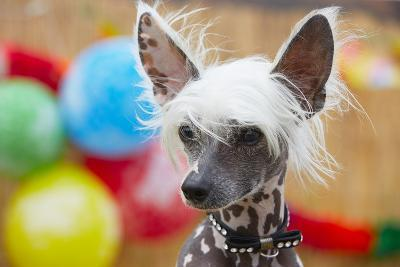 Portrait of Chinese Crested Dog - Copy Space-Jaromir Chalabala-Photographic Print