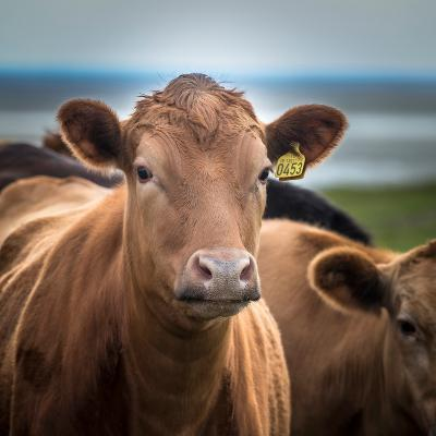 Portrait of Cows Grazing, Iceland--Photographic Print
