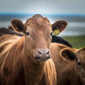 Portrait of Cows Grazing, Iceland