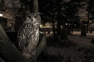 Portrait of Eagle Owl (Bubo Bubo) in Tree at Dusk. Freiburg Im Breisgau, Germany, January-Klaus Echle-Photographic Print