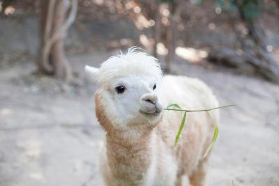 Portrait of Fluffy Young Alpaca (Vicugna Pacos)-pongmanat tasiri-Photographic Print