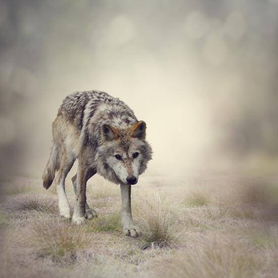 Portrait of Gray Wolf Walking-abracadabra99-Photographic Print