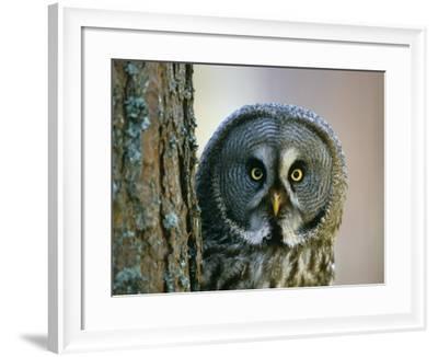 Portrait of Great Grey Owl (Strix Nebulosa) Behind Scots Pine Tree, Scotland, UK-Pete Cairns-Framed Photographic Print