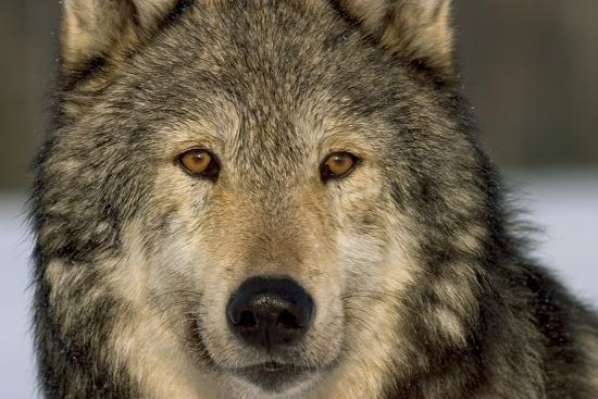 Portrait of Grey Wolf Captive Alaska Se Winter-Design Pics Inc-Photographic Print