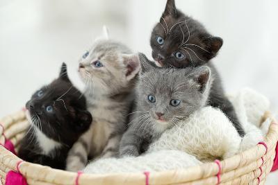 Portrait of Group of Young Scottish Cats . Studio Shot.-Nina Buday-Photographic Print