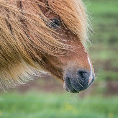 Portrait of Icelandic Horse, Iceland--Photographic Print