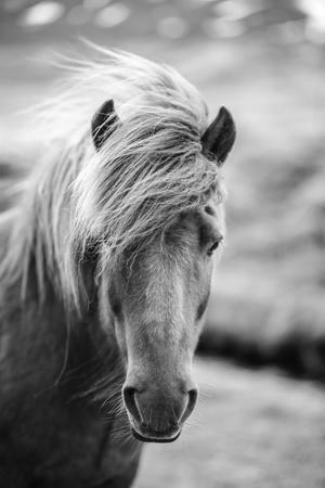 https://imgc.artprintimages.com/img/print/portrait-of-icelandic-horse-in-black-and-white_u-l-q130kpj0.jpg?p=0