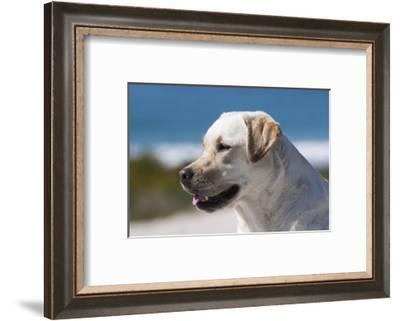 Portrait of Labrador-Zandria Muench Beraldo-Framed Photographic Print