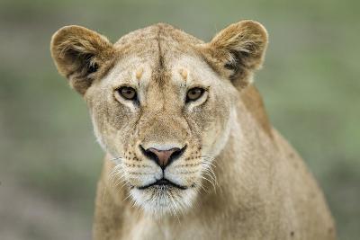 Portrait of Lioness--Photographic Print