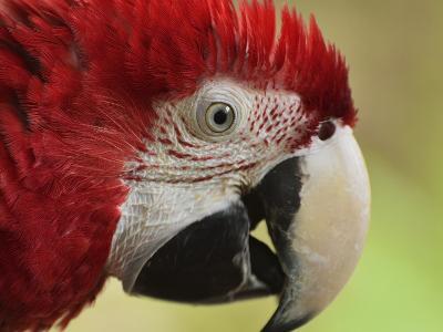 Portrait of Macaw, Lok Kawi Wildlife Park, Sabah, Borneo, Malaysia,Southeast Asia, Asia-Jochen Schlenker-Photographic Print