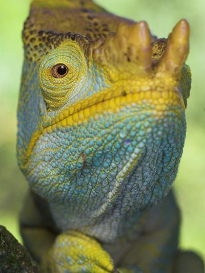 Portrait of Male Parson's Chameleon, Ranomafana National Park, South Eastern Madagascar-Nick Garbutt-Photographic Print