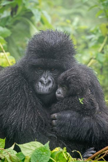 Portrait of Mountain Gorilla, Gorilla Beringei Beringei, with its Young-Tom Murphy-Photographic Print