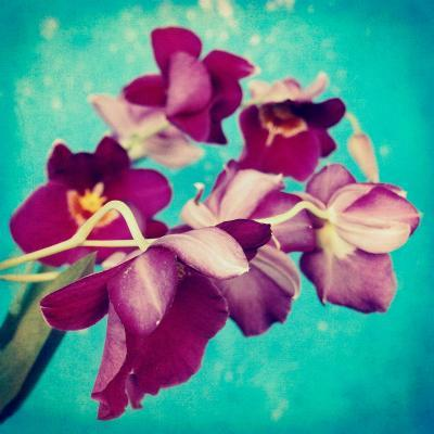 Portrait of Purple Miltonia Orchid on Turqoise Background-Alaya Gadeh-Photographic Print