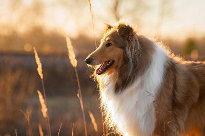 Portrait of Rough Collie at Sunset-Grigorita Ko-Photographic Print