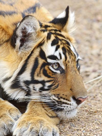 Portrait of Royal Bengal Tiger, Ranthambhor National Park, India-Jagdeep Rajput-Photographic Print