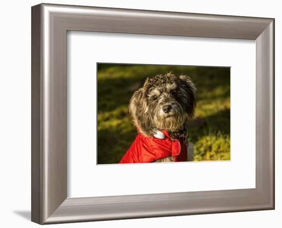 Portrait of seven month old Schnoodle puppy wearing his jacket on a cold day.-Janet Horton-Framed Photographic Print