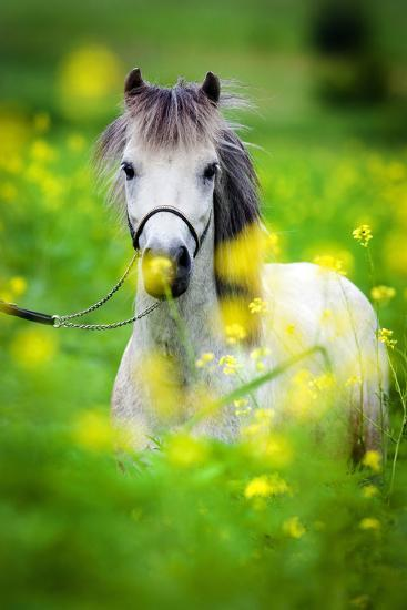 Portrait of Shetland Pony on Green Background.-Alexia Khruscheva-Photographic Print