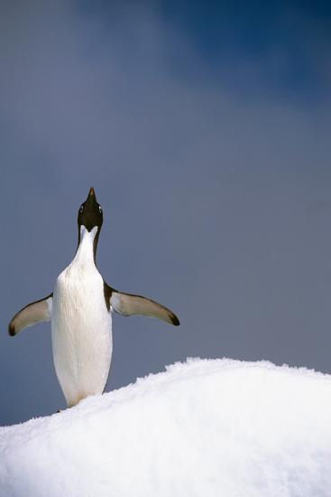 Portrait of Single Adelie Penguin Atop Iceberg South Atlantic Ocean Antarctica Summer-Design Pics Inc-Photographic Print