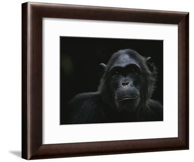 Portrait of the Chimpanzee Fifi-Michael Nichols-Framed Photographic Print