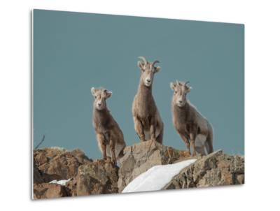 Portrait of Three Young Bighorn Sheep Standing on a Cliff-Tom Murphy-Metal Print