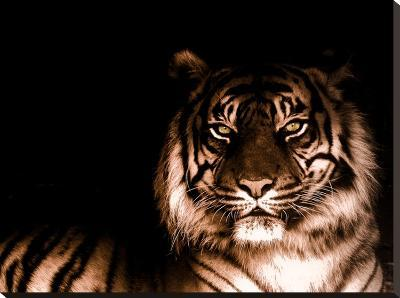 Portrait of Tiger-FarzyB-Stretched Canvas Print