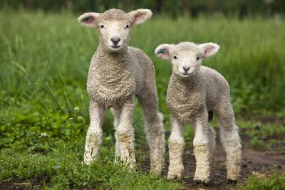 Portrait of Two Cute Baby Sibling Romney Lambs in a Green Pasture-Karine Aigner-Photographic Print