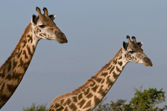 Portrait of Two Female Maasai Giraffes, Giraffa Camelopardalis Tippelskirchi-Sergio Pitamitz-Photographic Print