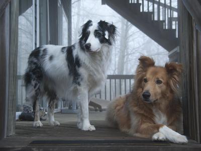 Portrait of Two Pet Australian Shepherd Dogs on a Wooden House Deck-Amy & Al White & Petteway-Photographic Print