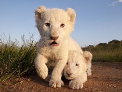 Portrait of Two White Lion Cub Siblings, One Laying Down and One with it's Paw Raised.-Karine Aigner-Photographic Print