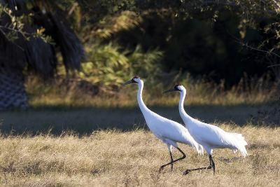 Portrait of Two Whooping Cranes, Grus Americana, in a Field-Robbie George-Photographic Print