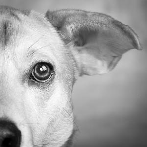 Portrait of Westie Labrador Mixed Dog
