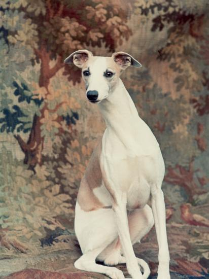 Portrait of Whippet Chosen Best in Show at the 88th Annual Westminster Kennel Club Dog Show-Nina Leen-Photographic Print
