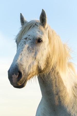 https://imgc.artprintimages.com/img/print/portrait-of-white-horses-head-the-camargue-france_u-l-q12svar0.jpg?p=0