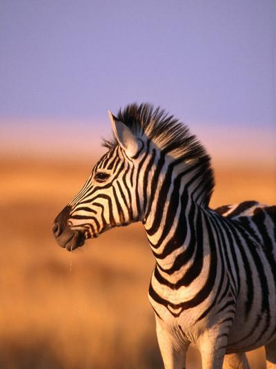Portrait of Young Burchells Zebra (Equus Burchelli), Etosha National Park, Namibia-Andrew Parkinson-Photographic Print