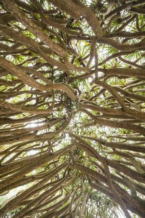 https://imgc.artprintimages.com/img/print/portugal-azores-pico-island-madalena-dragon-tree_u-l-q1ga6on0.jpg?p=0