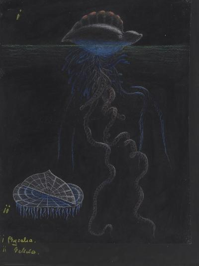 Portugese-Man-Of-War: By-The-Wind-Sailor: Jellyfish-Philip Henry Gosse-Giclee Print
