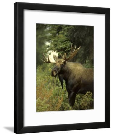 Posing and Display are Part of the Mating Game for Alaskan Moose-Michael S^ Quinton-Framed Photographic Print