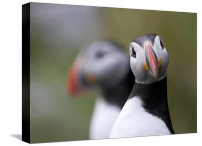 Posing Puffin-Olof Petterson-Stretched Canvas Print
