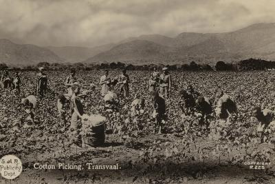 Postcard Depicting Cotton Picking in the Transvaal--Photographic Print