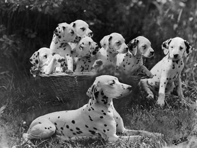 Postchaise Pluto One of Mrs Rowberry's Bitches with Her Puppies in a Basket-Thomas Fall-Photographic Print