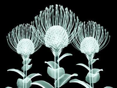Xray Image of a Flower Isolated on Black , the Nodding Pincushion,