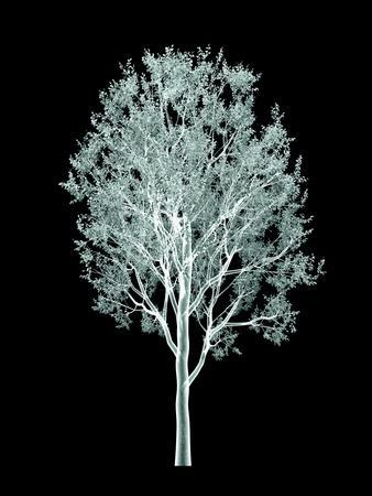 Xray Image of a Tree Isolated on Black