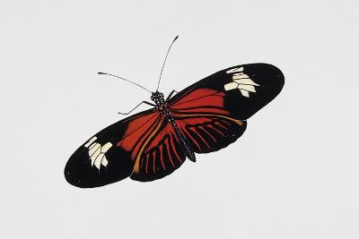 Postman Butterfly (Heliconius Melpomene), Nymphalidae, Artwork by Rebecca Hardy--Giclee Print