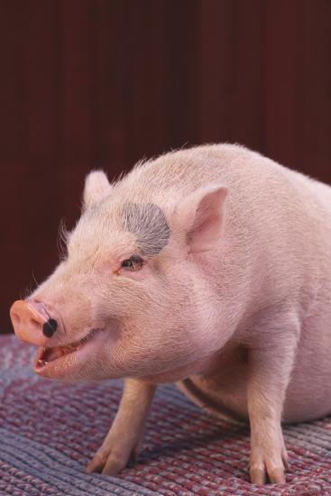 Pot-Bellied Pig-DLILLC-Photographic Print