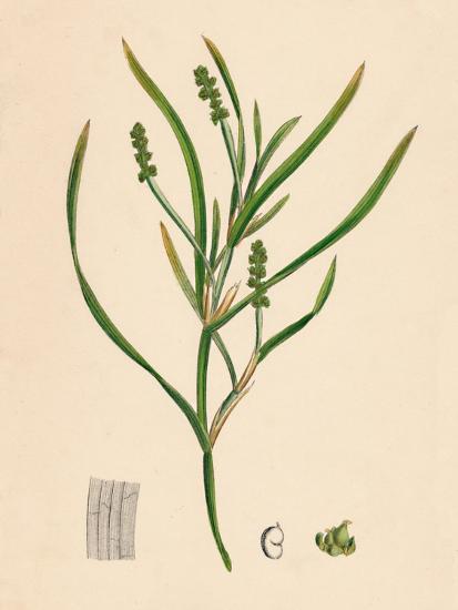 'Potamogeton zosterifolius. Grass-wrack-leaved Pondweed', 19th Century-Unknown-Giclee Print