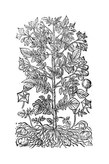 Potato, 1640--Giclee Print