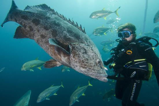 Potato Cod, Diver and Blacktip Trevally, KwaZulu-Natal, South Africa-Pete Oxford-Photographic Print